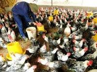 Trà Vinh công bố hết dịch cúm A/H5N1