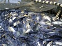 Cá da trơn Việt Nam bị Mỹ đưa vào chương trình thanh tra, giám sát