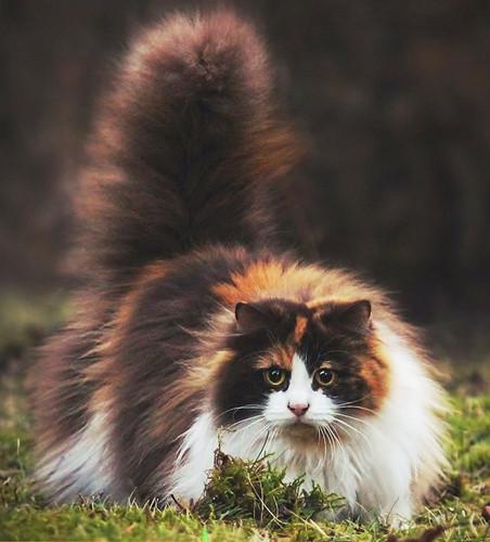 Chiêm ngưỡng những giống mèo đắt tiền nhất hành tinh - Ảnh 17.