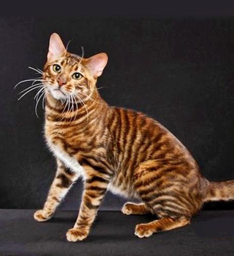 Chiêm ngưỡng những giống mèo đắt tiền nhất hành tinh - Ảnh 15.