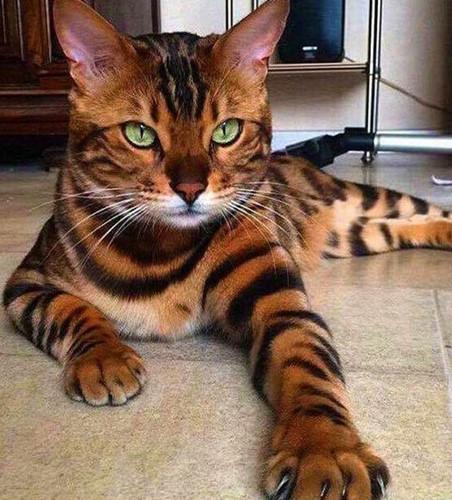 Chiêm ngưỡng những giống mèo đắt tiền nhất hành tinh - Ảnh 13.