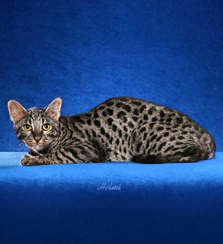 Chiêm ngưỡng những giống mèo đắt tiền nhất hành tinh - Ảnh 12.
