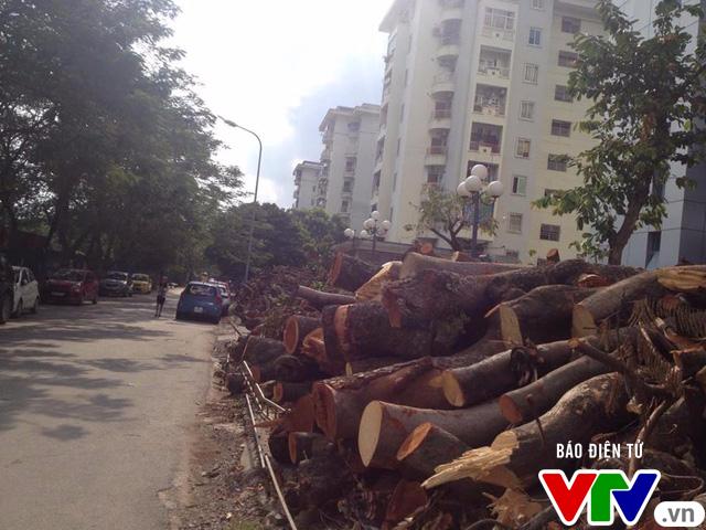 Số phận hơn 100 cây xanh trên phố Kim Mã sẽ ra sao sau khi được di dời? - Ảnh 3.
