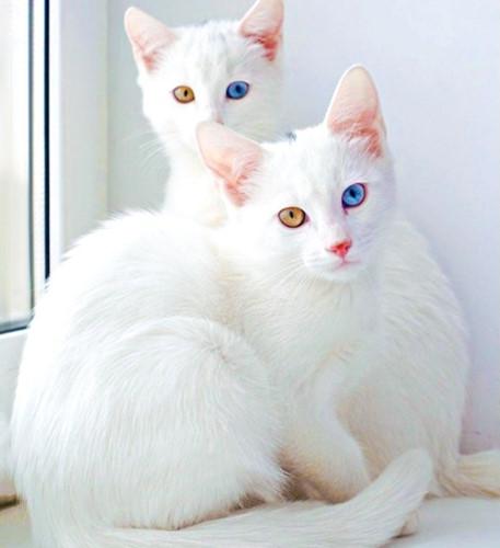 Chiêm ngưỡng những giống mèo đắt tiền nhất hành tinh - Ảnh 11.