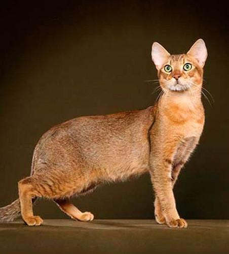 Chiêm ngưỡng những giống mèo đắt tiền nhất hành tinh - Ảnh 10.