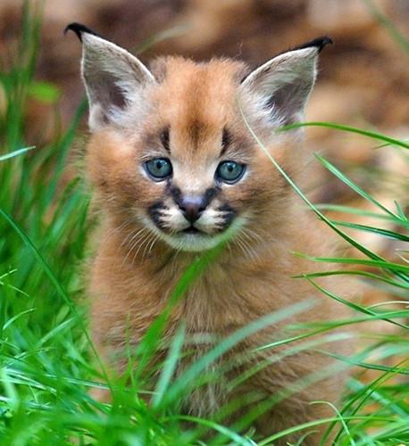 Chiêm ngưỡng những giống mèo đắt tiền nhất hành tinh - Ảnh 9.