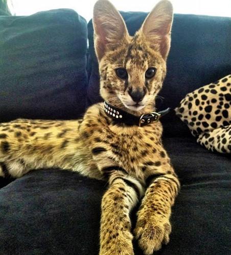 Chiêm ngưỡng những giống mèo đắt tiền nhất hành tinh - Ảnh 1.