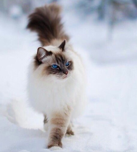 Chiêm ngưỡng những giống mèo đắt tiền nhất hành tinh - Ảnh 8.