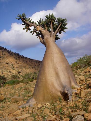 Khám phá Socotra - Hòn đảo được ví như hành tinh khác trên Trái đất - Ảnh 2.