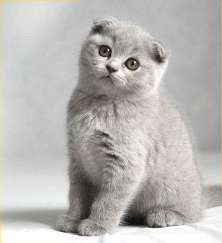 Chiêm ngưỡng những giống mèo đắt tiền nhất hành tinh - Ảnh 7.