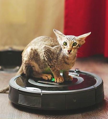 Chiêm ngưỡng những giống mèo đắt tiền nhất hành tinh - Ảnh 6.