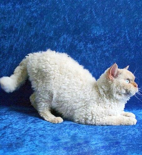 Chiêm ngưỡng những giống mèo đắt tiền nhất hành tinh - Ảnh 3.
