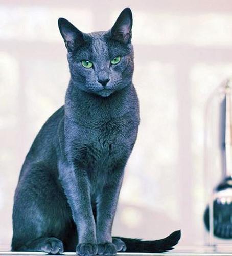 Chiêm ngưỡng những giống mèo đắt tiền nhất hành tinh - Ảnh 2.