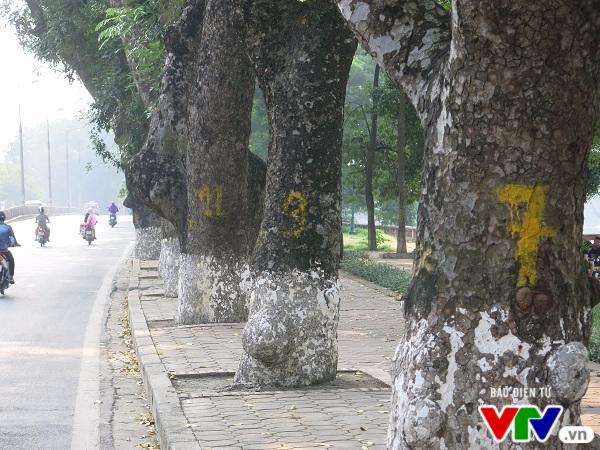 Hà Nội: Di chuyển hàng cây xanh phố Kim Mã, người dân tiếc hùi hụi - Ảnh 2.