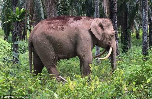 Chú voi có cặp ngà kỳ lạ cong ngược phía sau - Ảnh 1.
