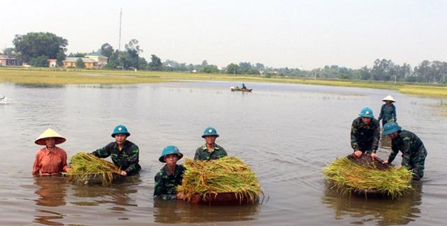Nghệ An: Thanh niên, bộ đội dầm mình giúp dân gặt lúa sau bão - Ảnh 1.