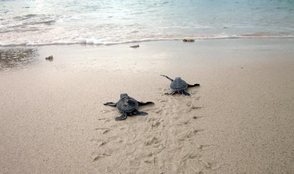 """Rùa xanh - Những """"phượt thủ"""" nhỏ bé giữa lòng đại dương - Ảnh 10."""