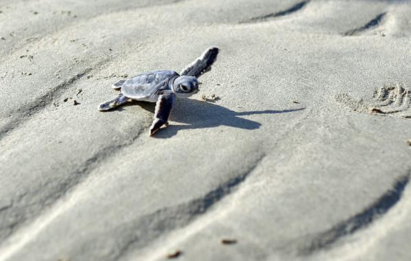 """Rùa xanh - Những """"phượt thủ"""" nhỏ bé giữa lòng đại dương - Ảnh 11."""