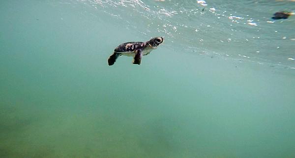 """Rùa xanh - Những """"phượt thủ"""" nhỏ bé giữa lòng đại dương - Ảnh 12."""