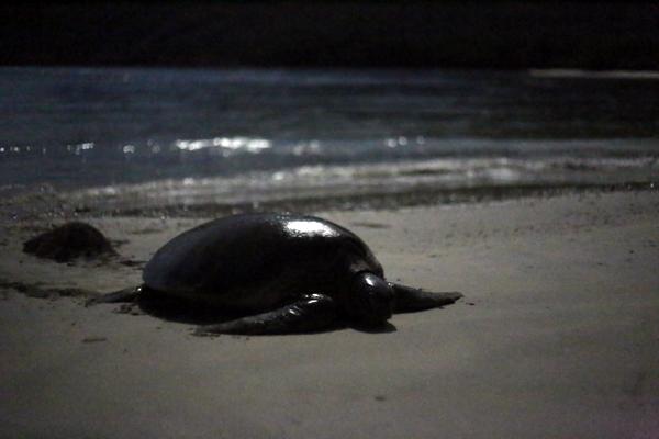 """Rùa xanh - Những """"phượt thủ"""" nhỏ bé giữa lòng đại dương - Ảnh 2."""