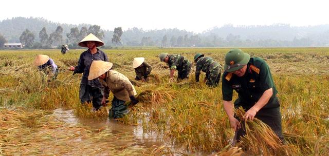 Nghệ An: Thanh niên, bộ đội dầm mình giúp dân gặt lúa sau bão - Ảnh 3.
