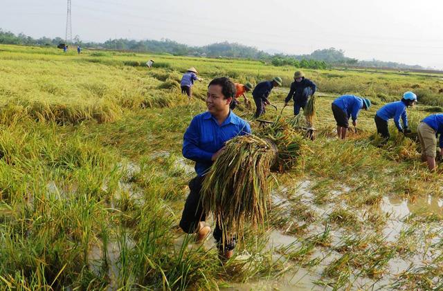 Nghệ An: Thanh niên, bộ đội dầm mình giúp dân gặt lúa sau bão - Ảnh 4.