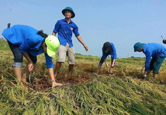 Nghệ An: Thanh niên, bộ đội dầm mình giúp dân gặt lúa sau bão - Ảnh 5.