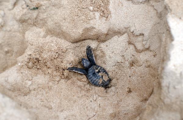 """Rùa xanh - Những """"phượt thủ"""" nhỏ bé giữa lòng đại dương - Ảnh 7."""