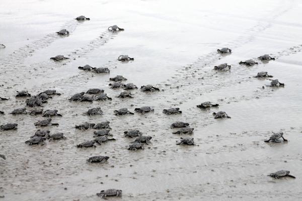 """Rùa xanh - Những """"phượt thủ"""" nhỏ bé giữa lòng đại dương - Ảnh 9."""