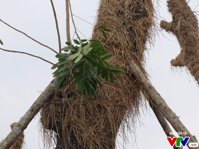 Cận cảnh vườn ươm hồi sinh các cụ xà cừ trên phố Kim Mã - Ảnh 7.