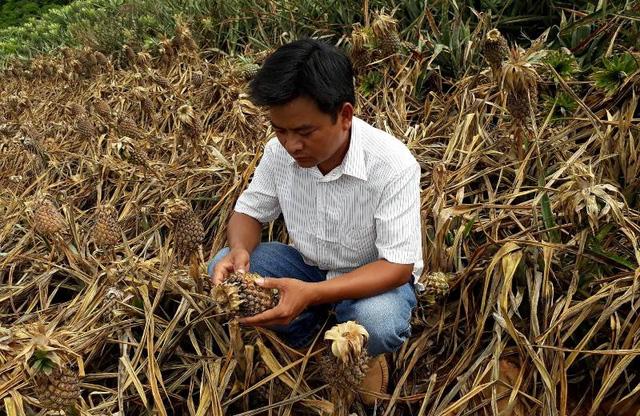 Thanh Hóa: Hơn 24.000 cây dứa bị hủy hoại sau 1 đêm - Ảnh 1.