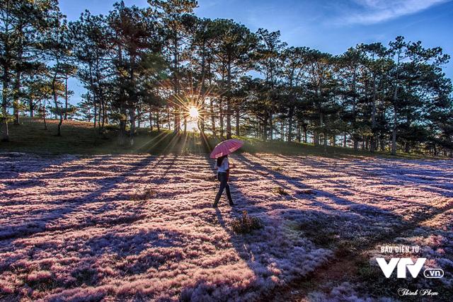 Mùa cỏ hồng đẹp như tranh ở Đà Lạt - Ảnh 8.