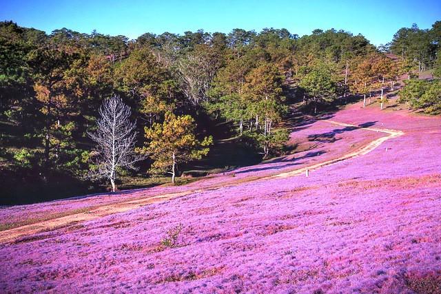 Mùa cỏ hồng đẹp như tranh ở Đà Lạt - Ảnh 4.