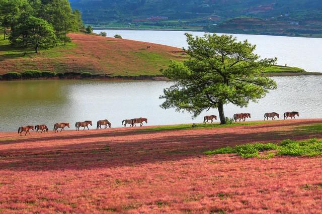 Mùa cỏ hồng đẹp như tranh ở Đà Lạt - Ảnh 3.