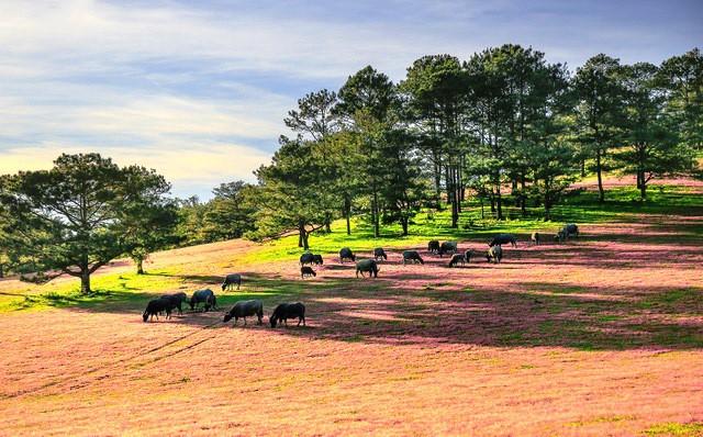 Mùa cỏ hồng đẹp như tranh ở Đà Lạt - Ảnh 1.