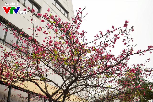 Nơi có hoa anh đào bung nở tự nhiên tuyệt đẹp tại Hà Nội - Ảnh 1.