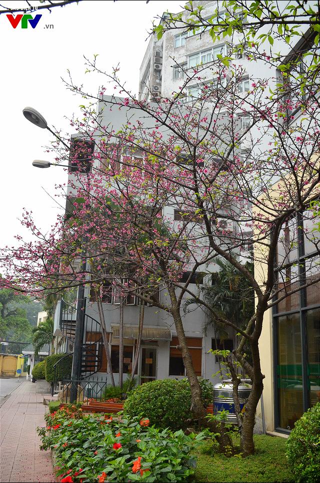 Nơi có hoa anh đào bung nở tự nhiên tuyệt đẹp tại Hà Nội - Ảnh 2.