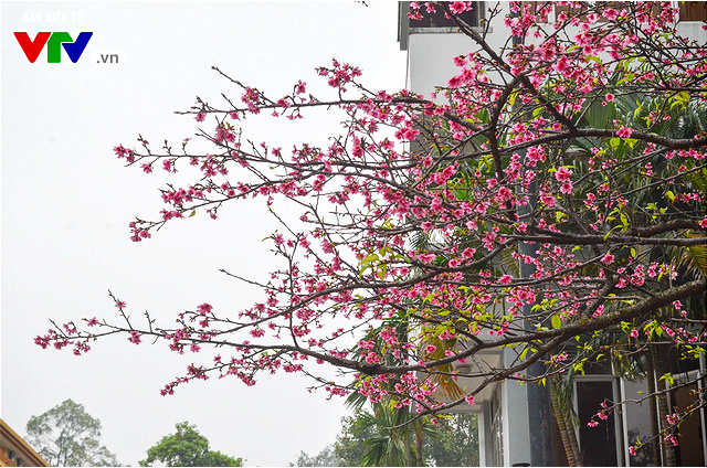 Nơi có hoa anh đào bung nở tự nhiên tuyệt đẹp tại Hà Nội - Ảnh 5.