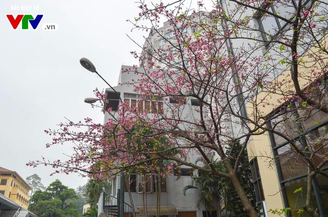 Nơi có hoa anh đào bung nở tự nhiên tuyệt đẹp tại Hà Nội - Ảnh 3.