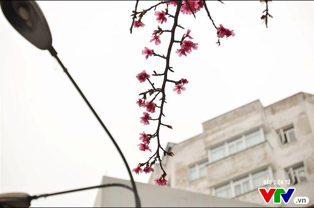Nơi có hoa anh đào bung nở tự nhiên tuyệt đẹp tại Hà Nội - Ảnh 4.