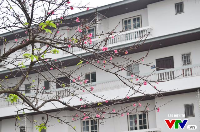 Nơi có hoa anh đào bung nở tự nhiên tuyệt đẹp tại Hà Nội - Ảnh 6.
