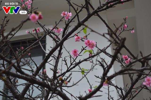 Nơi có hoa anh đào bung nở tự nhiên tuyệt đẹp tại Hà Nội - Ảnh 8.