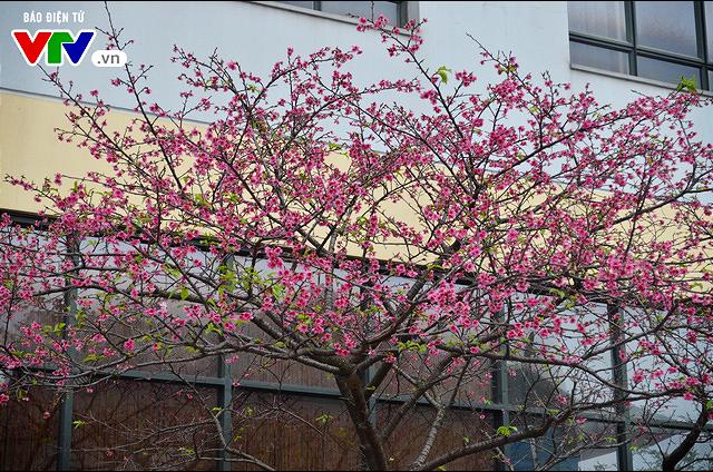 Nơi có hoa anh đào bung nở tự nhiên tuyệt đẹp tại Hà Nội - Ảnh 10.