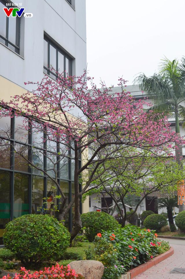 Nơi có hoa anh đào bung nở tự nhiên tuyệt đẹp tại Hà Nội - Ảnh 9.