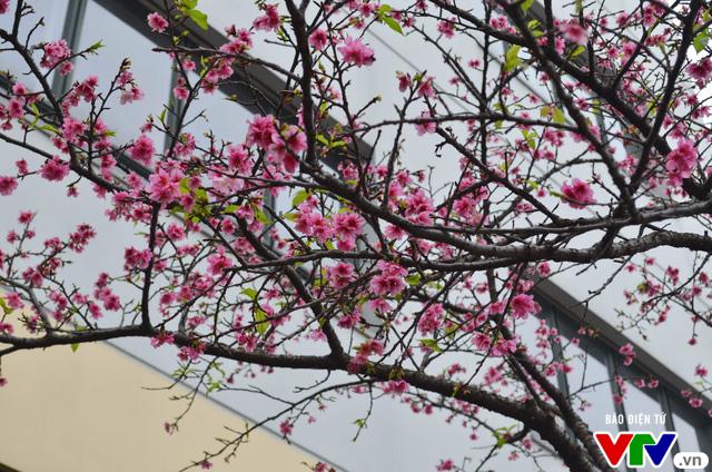 Nơi có hoa anh đào bung nở tự nhiên tuyệt đẹp tại Hà Nội - Ảnh 11.