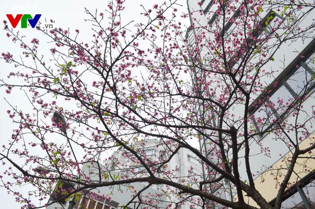 Nơi có hoa anh đào bung nở tự nhiên tuyệt đẹp tại Hà Nội - Ảnh 12.