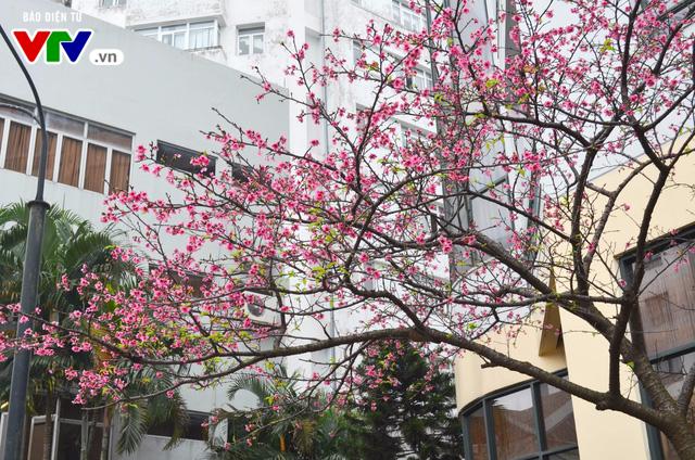 Nơi có hoa anh đào bung nở tự nhiên tuyệt đẹp tại Hà Nội - Ảnh 14.