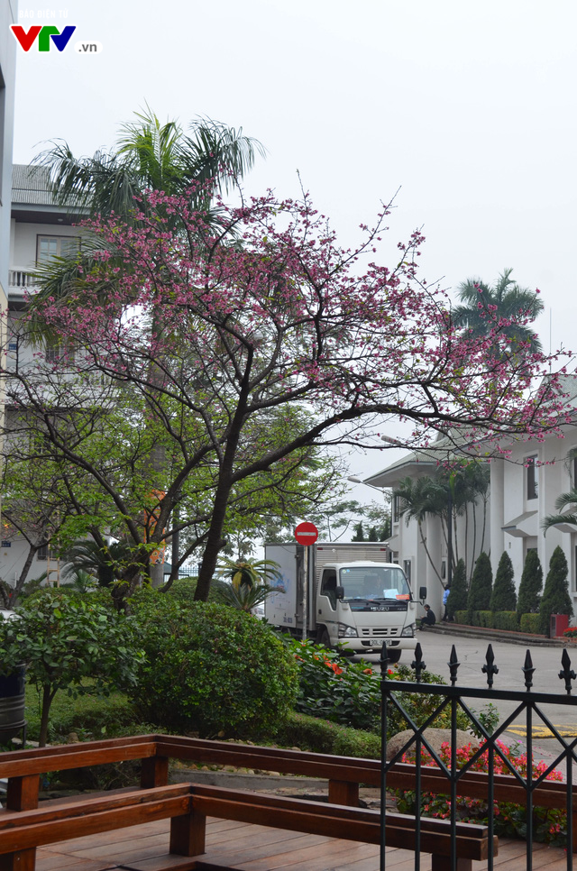 Nơi có hoa anh đào bung nở tự nhiên tuyệt đẹp tại Hà Nội - Ảnh 13.