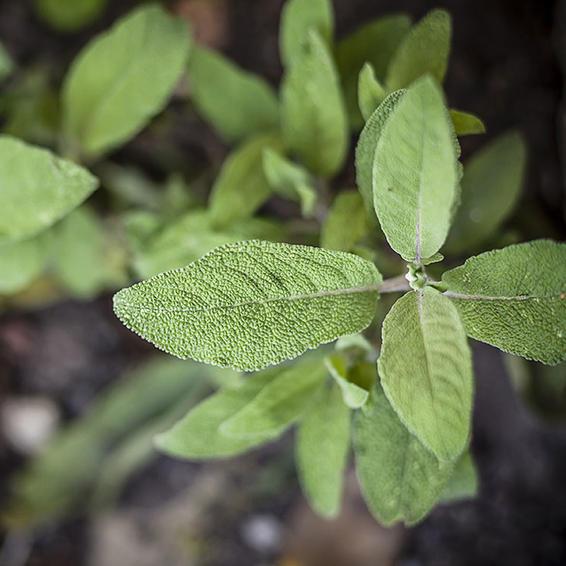Những loại thảo dược, gia vị tốt cho não bộ - ảnh 4