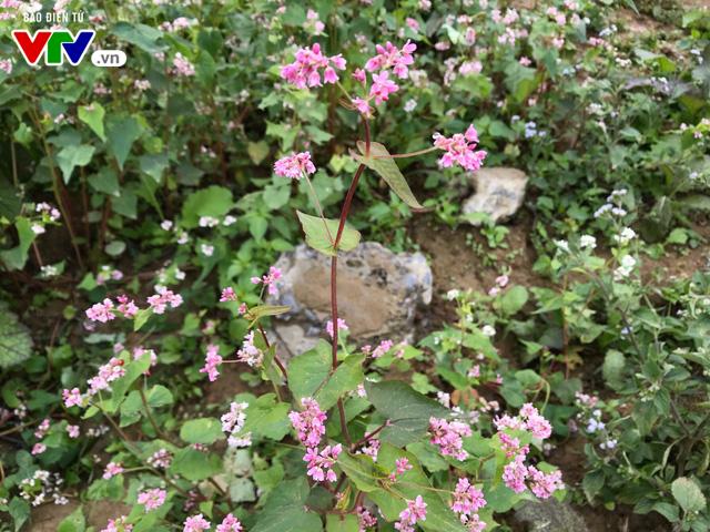 Ngắm hoa tam giác mạch Hà Giang trước ngày khai hội - Ảnh 2.